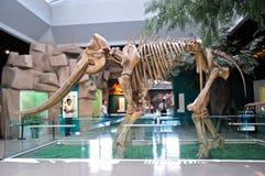 Fósil del elefante del río amarillo imágenes de archivo libres de regalías