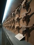 Fósil del hueso del buey salvaje imágenes de archivo libres de regalías