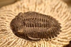 Fósil del trilobite fotografía de archivo libre de regalías