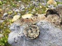 Fósil en una roca en Kananaskis, Alberta; el caminar en las montañas rocosas o stock de ilustración
