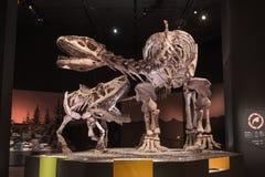 Fósiles de dinosaurio Imagen de archivo libre de regalías