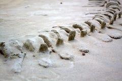Fósiles de dinosaurio Foto de archivo