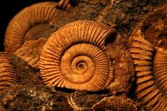 Fósiles de la amonita Fotografía de archivo