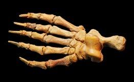 Fósiles de la pierna del dinosaurio Imagen de archivo