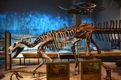 Fósiles del museo de Perot Imágenes de archivo libres de regalías