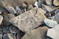 Fósiles en los acantilados fósiles de Joggins, Nova Scotia, Canadá imagen de archivo