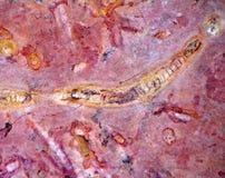 Fósiles invertebrados fotografía de archivo libre de regalías
