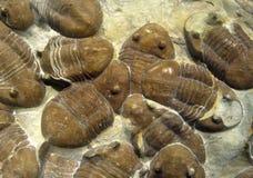 Fósiles marinas Imagenes de archivo