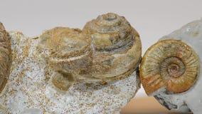 Fósiles viejos de la amonita almacen de metraje de vídeo