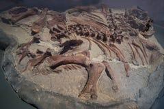 Fósseis de dinossauro fotografia de stock royalty free