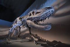 Fósseis de dinossauro Fotografia de Stock