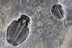Fósseis de Trilobyte Foto de Stock