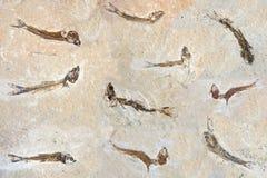 Fósseis dos peixes 60 milhão anos velho Foto de Stock