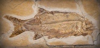 Fóssil Foto de Stock
