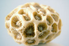 Fóssil coral Foto de Stock Royalty Free
