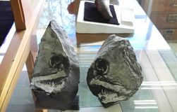 Fóssil de peixes cretáceos imagem de stock royalty free