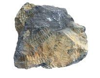 Fóssil do Fern Imagens de Stock Royalty Free