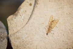 Fóssil do inseto Imagem de Stock