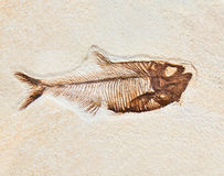 Fóssil dos peixes Fotografia de Stock