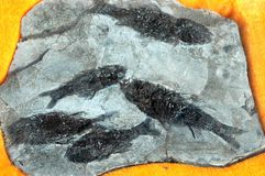 Fóssil dos peixes imagem de stock royalty free