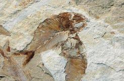 Fóssil dos peixes Foto de Stock Royalty Free