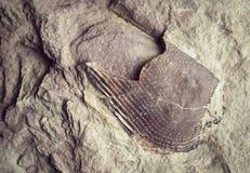 Fóssil interrompido em uma rocha imagens de stock