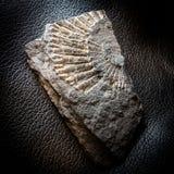 Fóssil na rocha metamórfica do xisto foto de stock