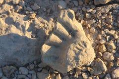 Fóssil pequeno Imagem de Stock Royalty Free
