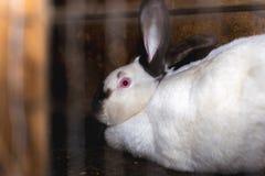 Föda upp kaniner Kaniner på en lantgård i en träbur Kaniner i fångenskap arkivbild