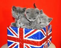 föda upp små kattungar för brittisk shorthair för katten gullig inhemsk Arkivfoton