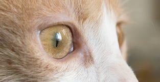 föda upp upp kortslutningen för fotoet för brittiska ögon för kattcloseögat den haired Arkivfoto