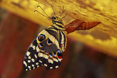 Födelse av en fjäril Arkivbilder