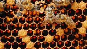 Födelse av ett nytt bi, andra bin hjälper henne att få ut ur cellen fotografering för bildbyråer