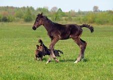 Föl och hundkapplöpning Fotografering för Bildbyråer