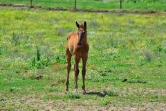 Föl som bara står i gräsfältet Royaltyfria Foton