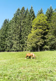 Föl som betar i skogarna Arkivbilder
