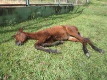 Föl som sover i gräset fotografering för bildbyråer
