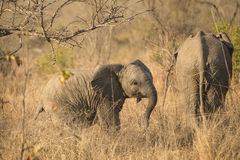 Följande moder för elefantkalv Royaltyfri Foto