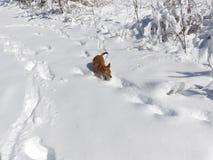 Följande spår i snön Arkivfoton
