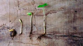 Följden av groende behandla som ett barn växter som växer upp Arkivbild