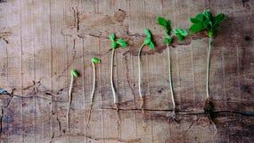 Följden av groende behandla som ett barn växter som växer upp Royaltyfri Bild