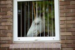 fönster för hästlookwhite Arkivfoto