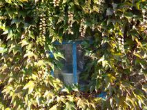 Fönster med murgrönaen Fotografering för Bildbyråer