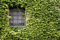 Fönster med murgrönaen Arkivfoto