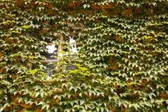 Fönster som täckas med växter Royaltyfria Foton