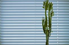 Fönsterväxten av kostnader för en euphorbia mot bakgrunden av fönsterrullgardiner Arkivbilder