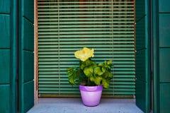 Fönstret med den gröna slutaren och guling blommar i krukan burano italy venice Royaltyfria Bilder