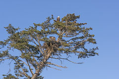 Förälder Eagle Watching Over en Fledgeling i redet royaltyfria foton