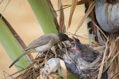 Förälderfågelmatning behandla som ett barn Royaltyfria Foton
