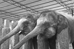 Föräldralöst behandla som ett barn elefanten i svartvitt Royaltyfria Foton